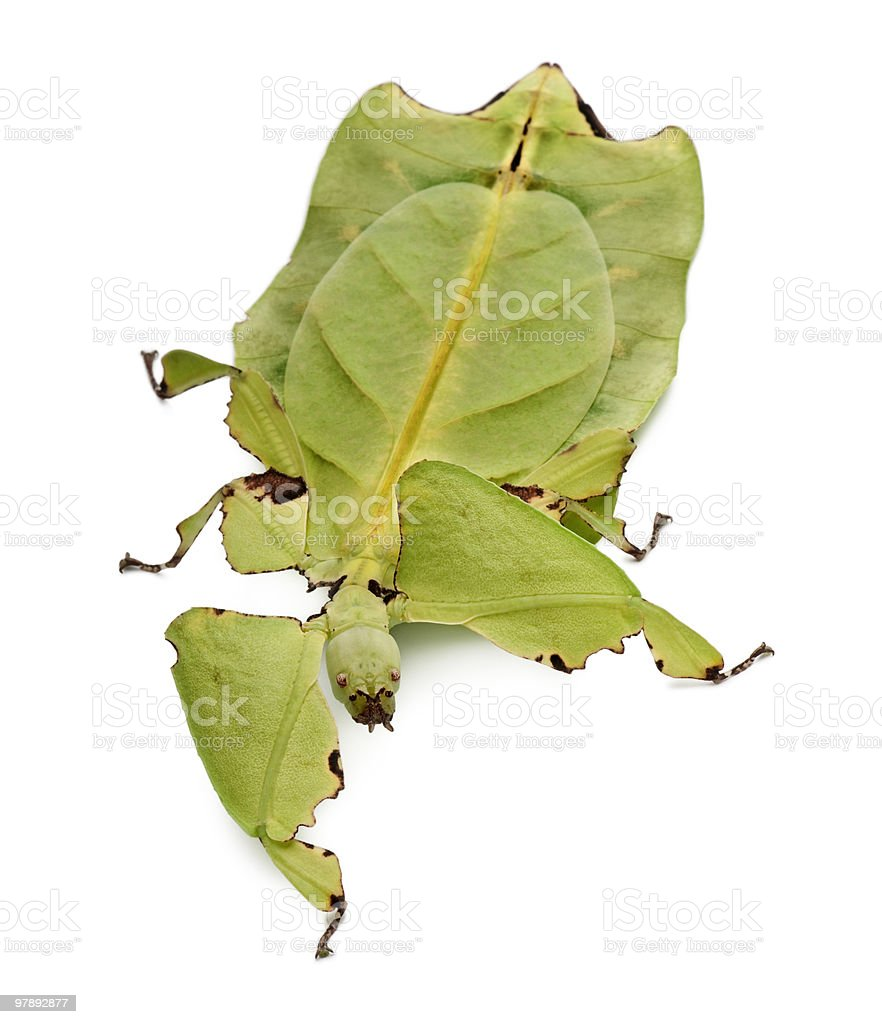 Front view of Phyllium giganteum (leaf insect), walking stock photo