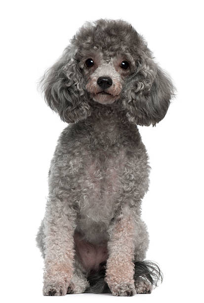 Front view of Poodle, 4 years old, sitting, white background.  poodle stock pictures, royalty-free photos & images