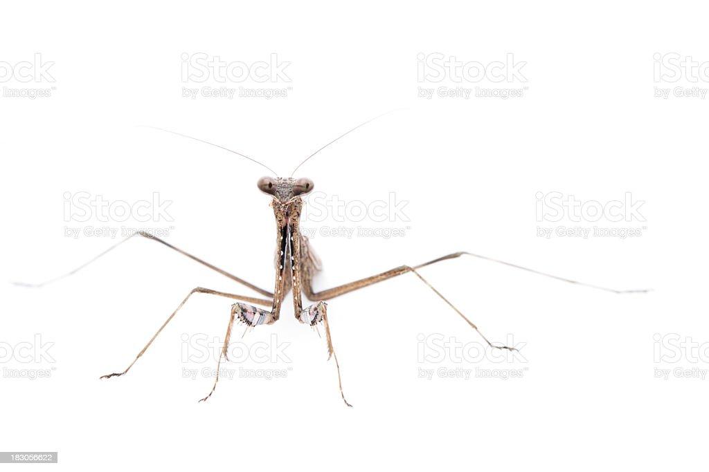 Front view of Praying mantis stock photo