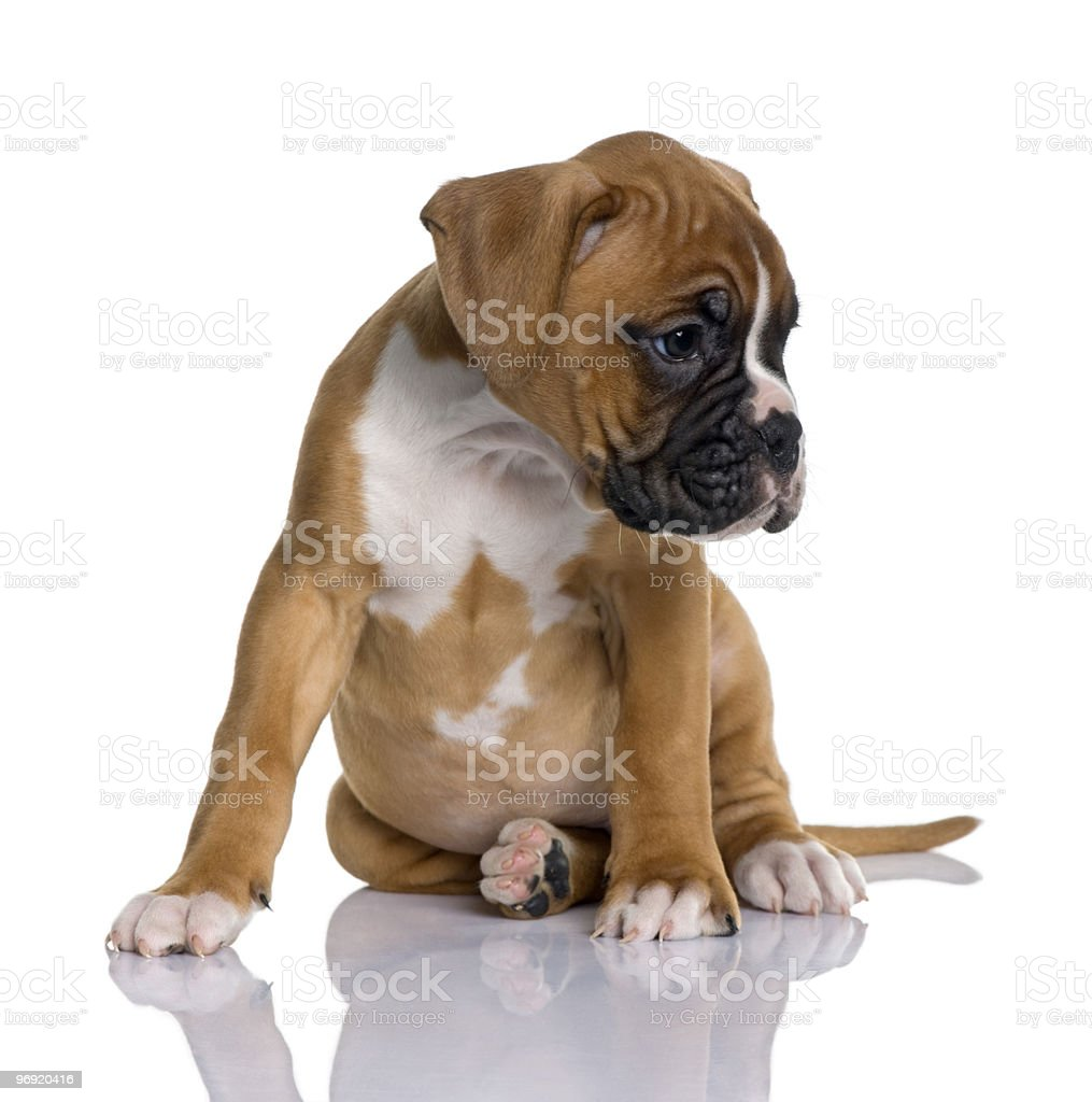 Front view of Puppy Boxer sitting and looking away royalty-free stock photo