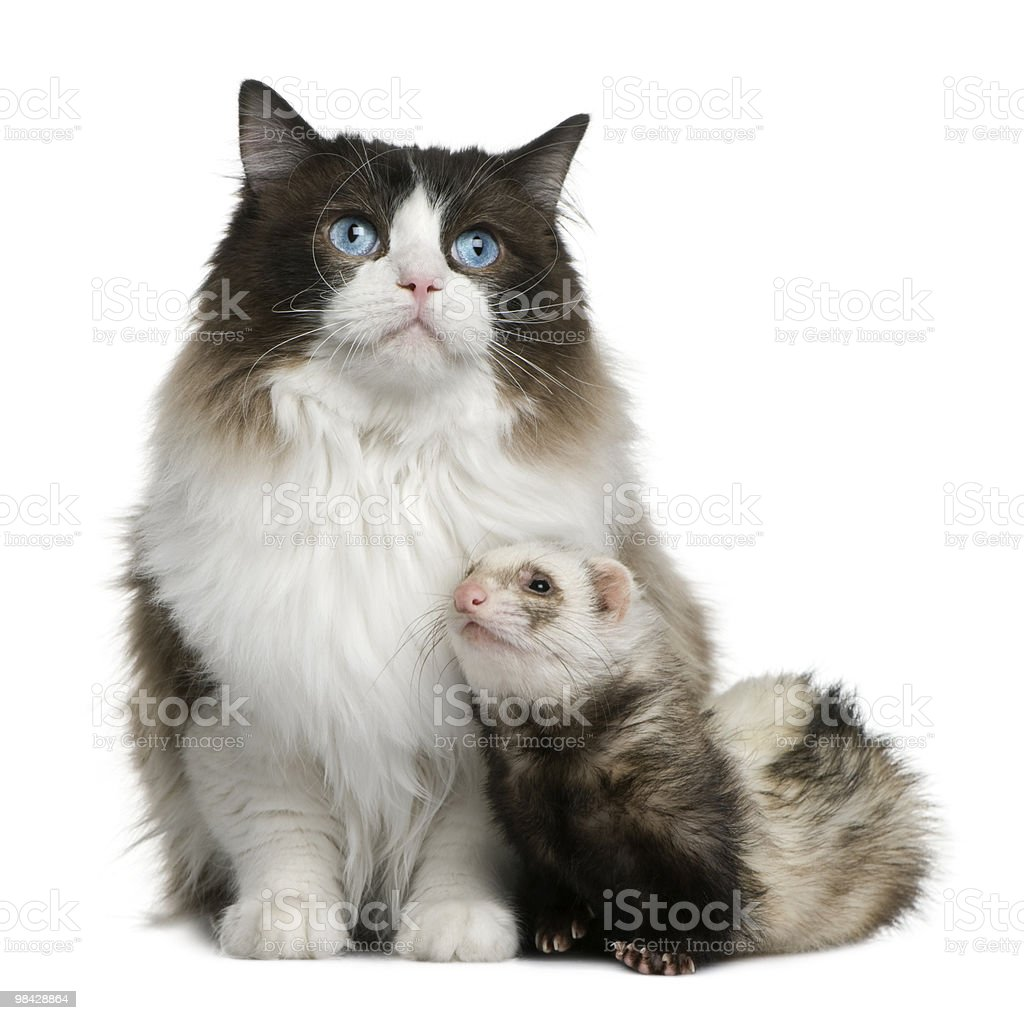 Front view of Ragdoll cat and a ferret sitting royalty-free stock photo