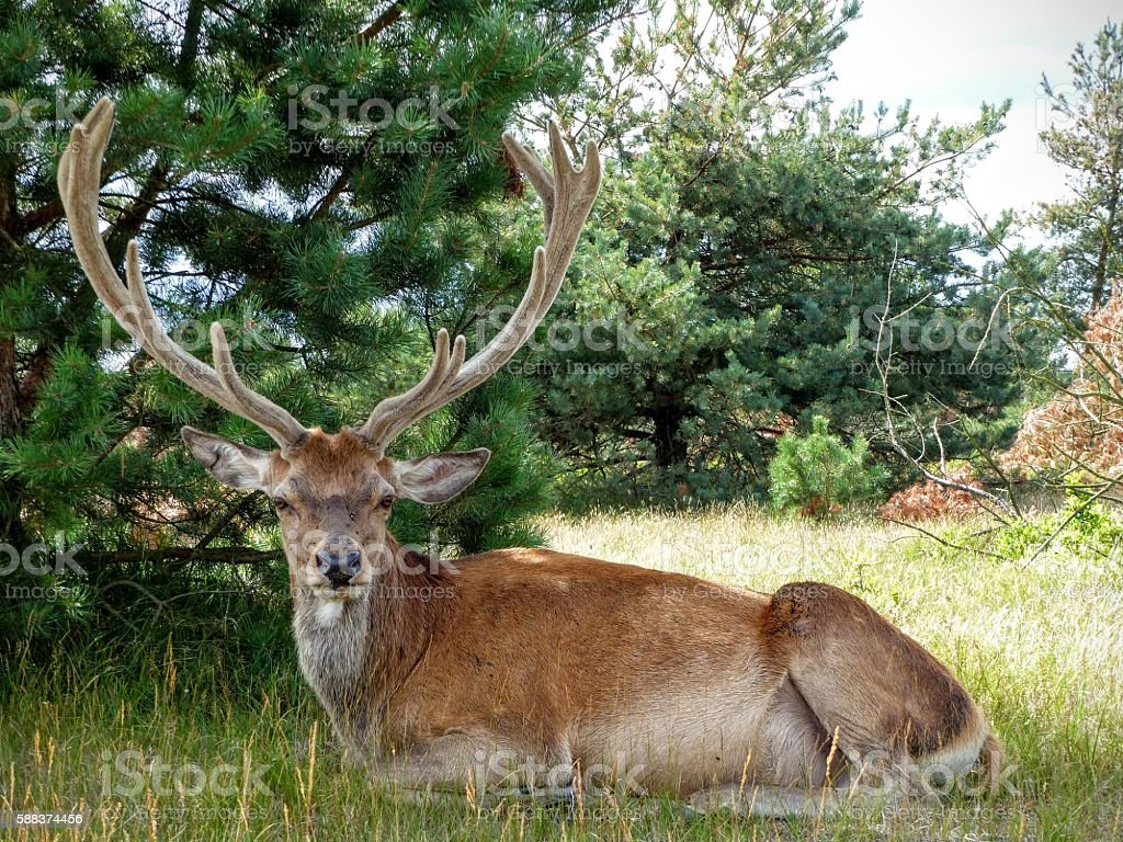 Front view of red deer stag with large antlers stock photo