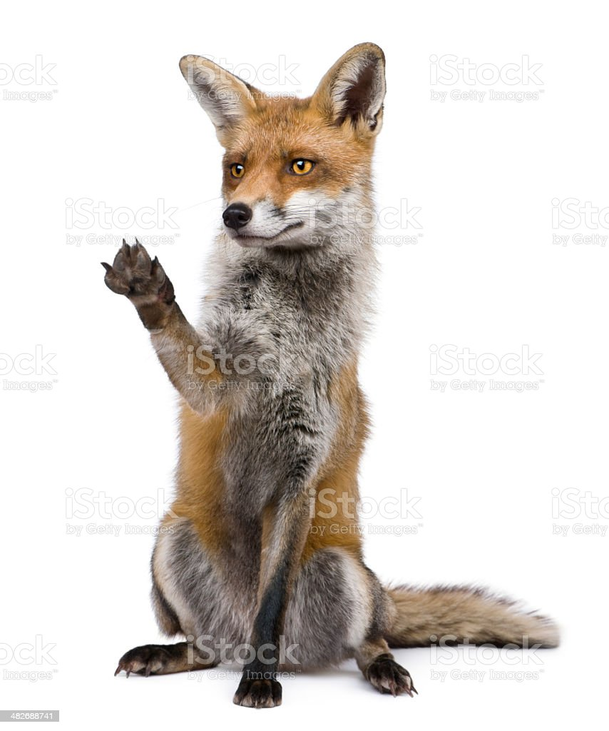 Front view of Red Fox sitting with paw raised. stock photo