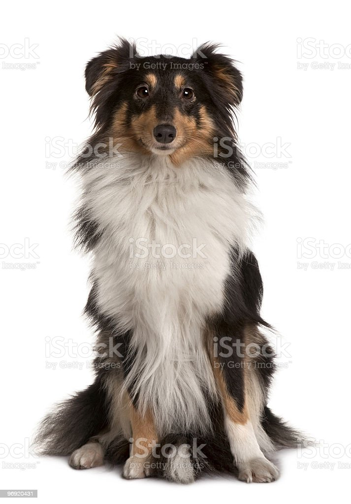 Front view of Shetland Sheepdog sitting stock photo