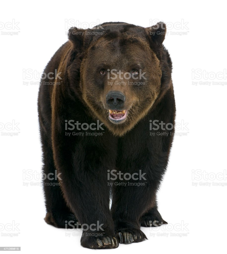Front view of Siberian Brown Bear, 12 years old, walking. stock photo