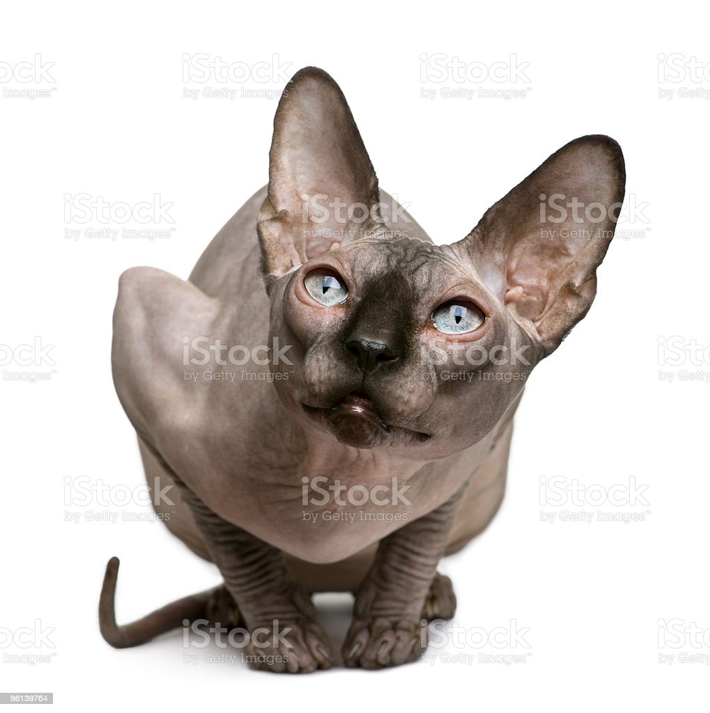 Front view of Sphynx cat sitting and looking up royalty-free stock photo