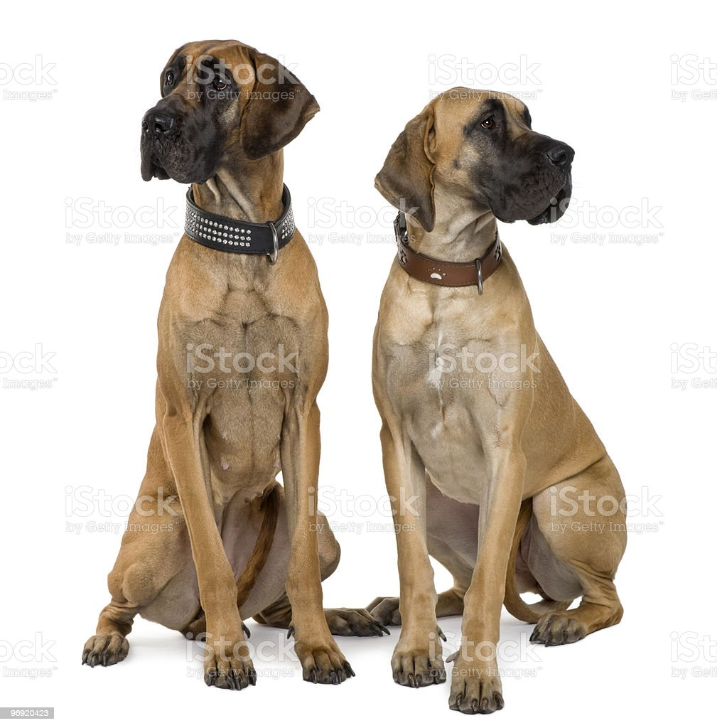 Front view of Two Great Danes sitting and looking away royalty-free stock photo