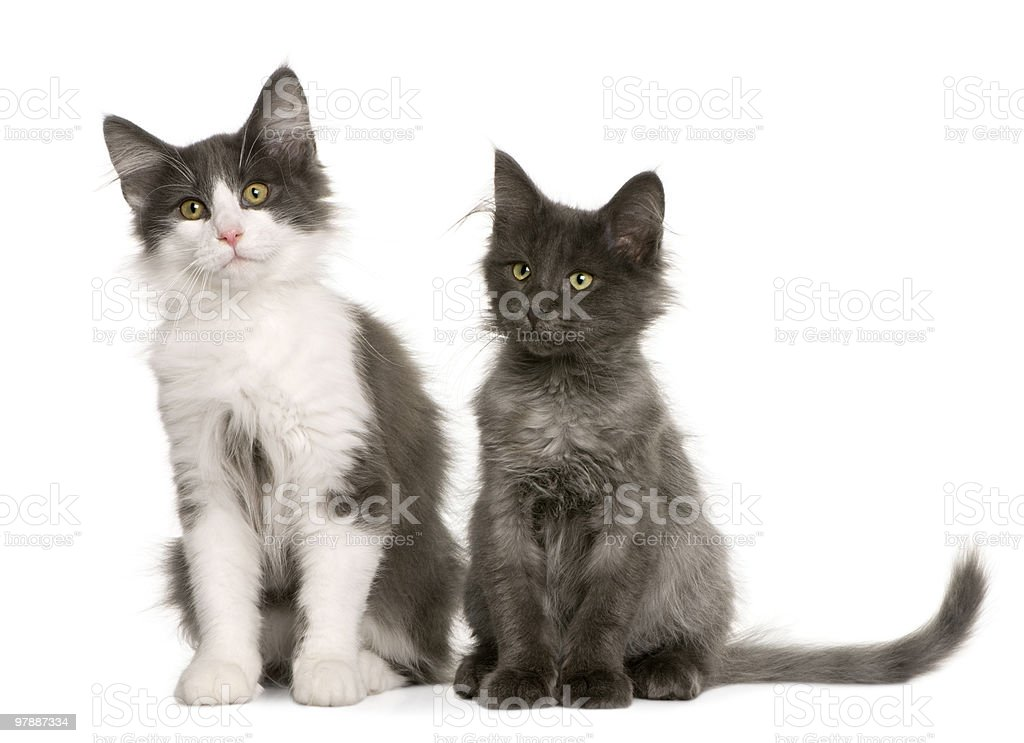 Front View Of Two Norwegian Forest Cat Kitten Sitting Stock Photo Download Image Now Istock