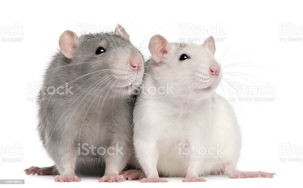 Front view of two rats royalty-free stock photo