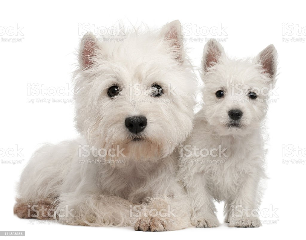 Front view of Two West Highland Terrier puppies, white background. stock photo