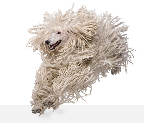 vorderansicht des gerippter standard pudel running white - hundeplätze stock-fotos und bilder