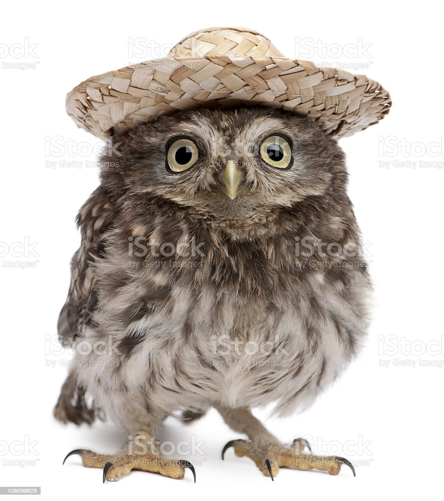 Front view of Young owl wearing a hat, standing. royalty-free stock photo