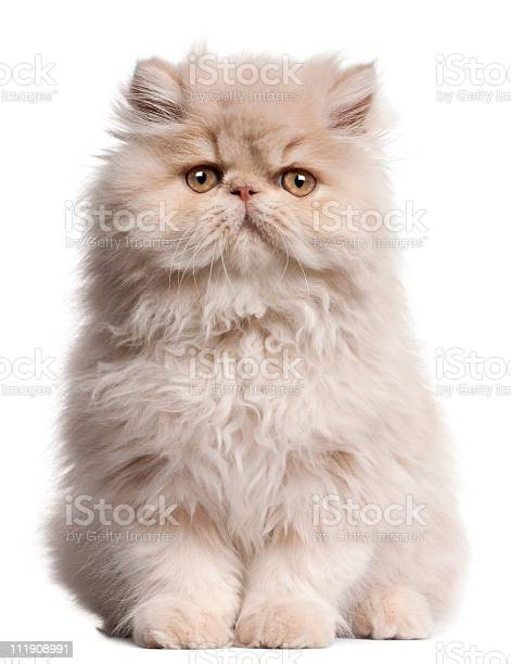 Front view of young persian cat sitting white background picture id111908991?b=1&k=6&m=111908991&s=612x612&h=jxdhpfwlfwzjm8hat66yhnkgcepjlky qrcxcu0 8mg=