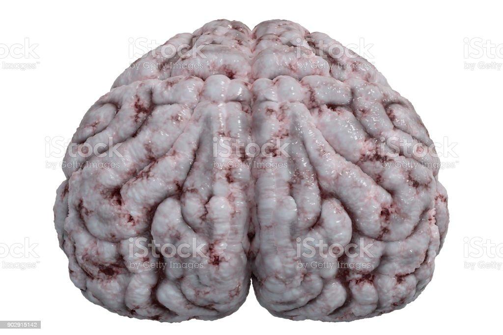 Fotografía de Vista Frontal En El Cerebro Humano Aislado Sobre Fondo ...
