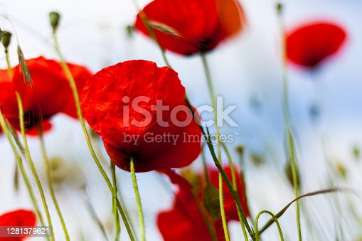 istock Front view tranquil red flowers green steam during summer. Beautiful scene outdoors. Herbage natural landscape outdoors. Gardening field. Studio shoot of red color poppy 1281379621