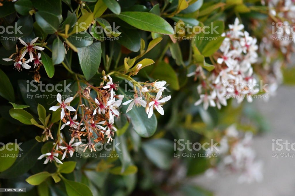 Front Yard Bush with Spring Flowers stock photo