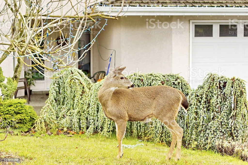 Front Yard Deer royalty-free stock photo