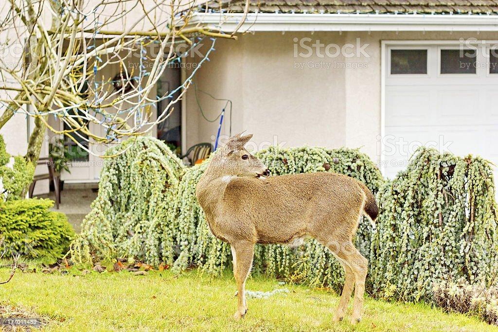 Front Yard Deer stock photo