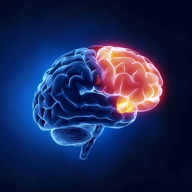 Frontal lobe - Human brain in x-ray view http://www.theeuphoria.com/01b.jpg occipital lobe stock pictures, royalty-free photos & images