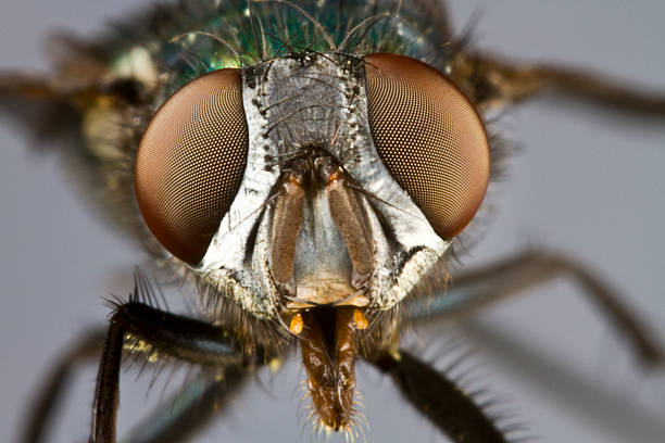 frontal shot of house fly stock photo