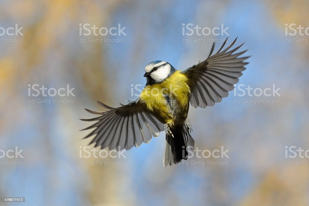 Frontal veiw of flying Blue Tit stock photo