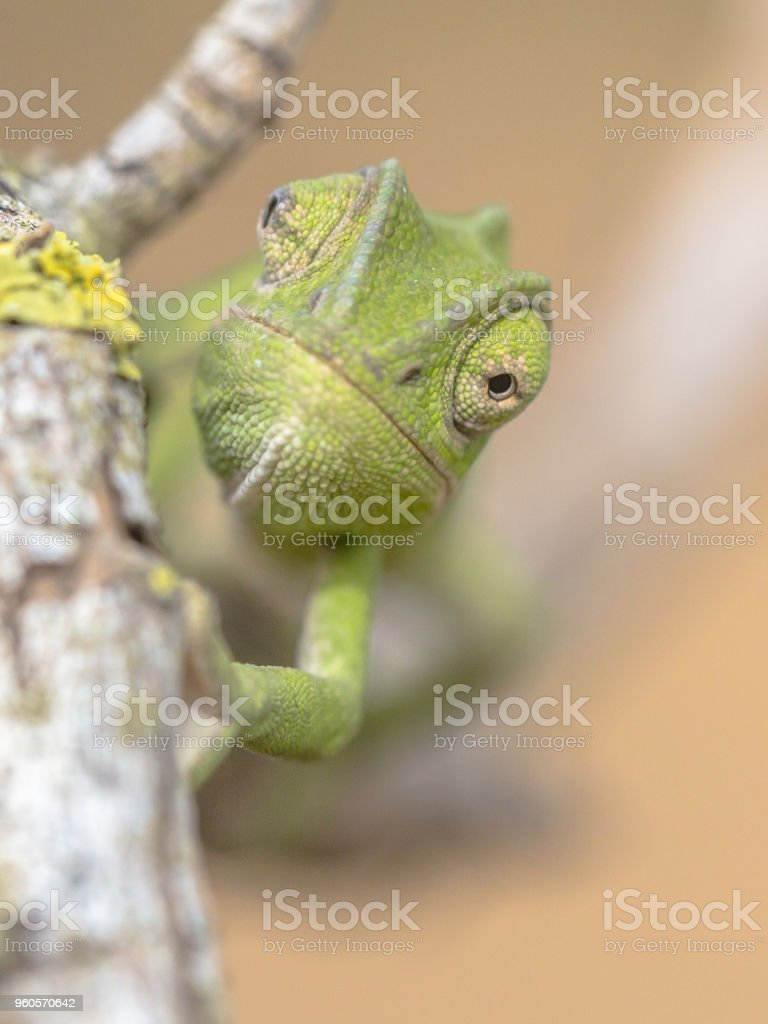 Frontal view African chameleon on stick stock photo
