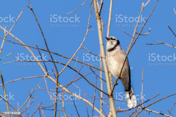 Photo of Frontal view of a female Blue Jay (Cyanocitta cristata) perching on a leafless tree branch in winter