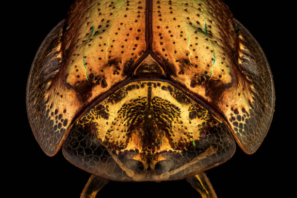 Frontal view of a golden tortoise beetle Frontal view of a golden tortoise beetle.The golden tortoise beetle is a species of beetle in the leaf beetle family, native to the Americas dorsal surface stock pictures, royalty-free photos & images