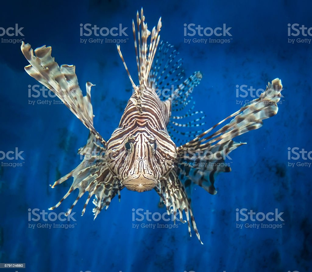 Frontal view of a lion fish stock photo