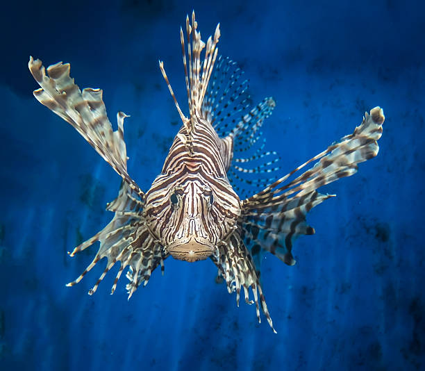 frontal view of a lion fish - lionfish stock photos and pictures