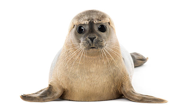 Frontal view of a Phoca vitulina against a white background Common seal lying, facing, Phoca vitulina, 8 months old, isolated on white seal pup stock pictures, royalty-free photos & images