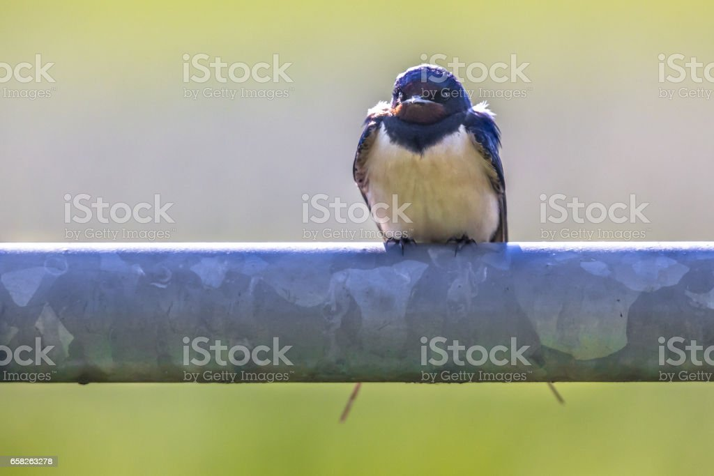 Frontal view of Barn swallow perched on metal pipe stock photo