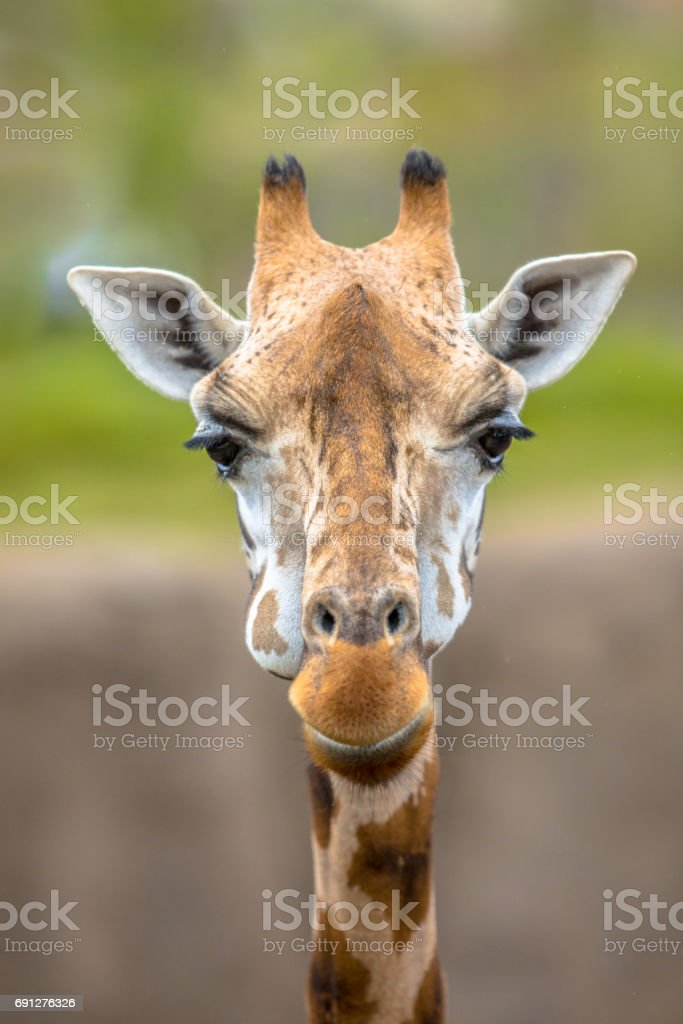 Frontal view of southern giraffe stock photo