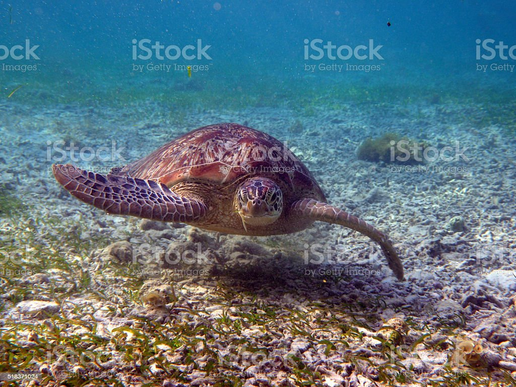 Frontal view of swimming turtle stock photo