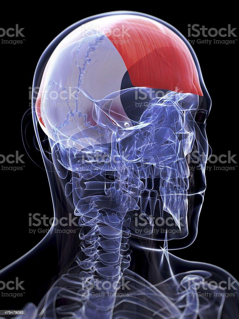 Músculo Frontalis - Fotografía de stock y más imágenes de Anatomía ...