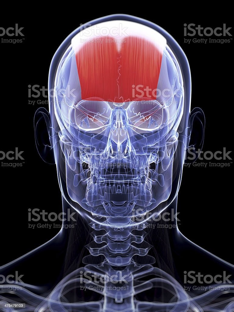 Frontalis Muscle Stock Photo More Pictures Of Anatomy Istock