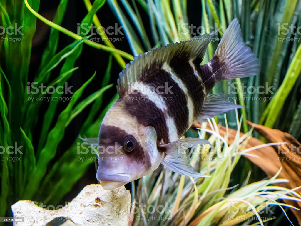 Frontosa cichlid stock photo