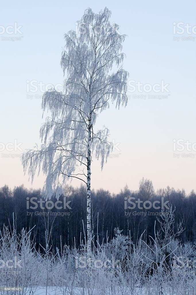 Frost covered birch tree stock photo