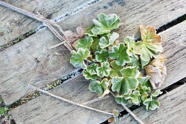 frost covered lady's mantle leaves - przywrotnik zdjęcia i obrazy z banku zdjęć