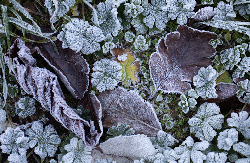 Frost covered plants on the ground, a cold early winter morning in Southern Sweden. Signs of Hoar frost.
