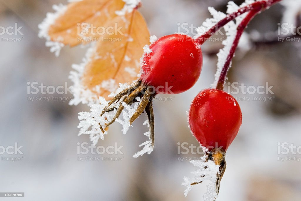 Frost covered rose-hip berries stock photo