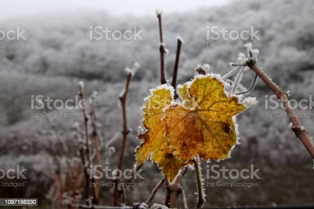 Photo of Frost covered vineyard