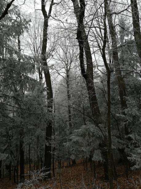 frost in  winter-forest stock photo