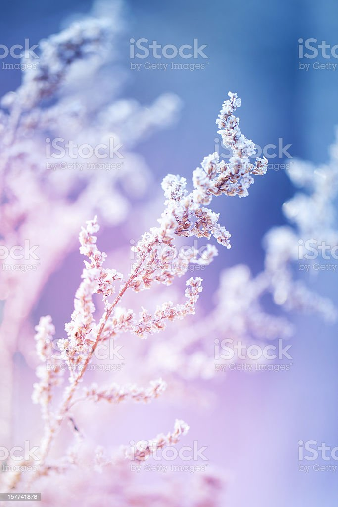Frost on a herb at sunrise - Royalty-free Agricultural Field Stock Photo
