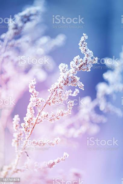 Frost On A Herb At Sunrise Stock Photo - Download Image Now