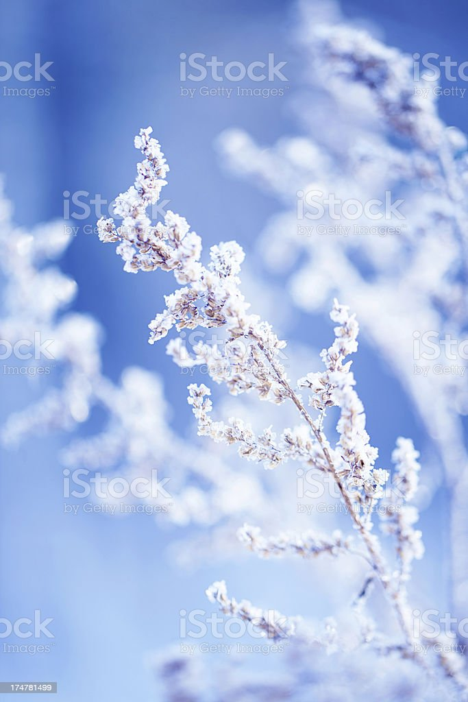 Frost on a herb stock photo