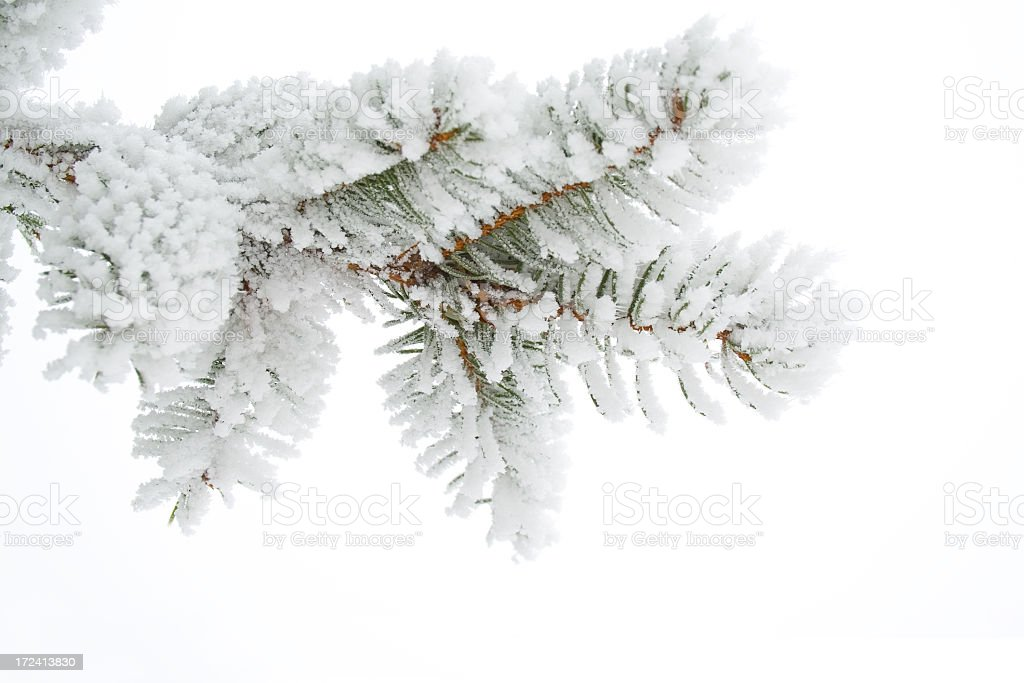 Frost on a twig spruce royalty-free stock photo