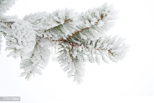 Frost on a twig spruce. Christmas tree frost.