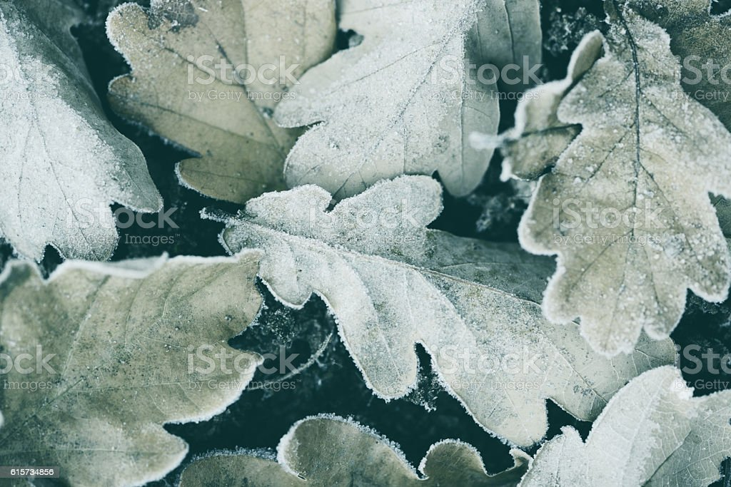 Frost on autumn leaves stock photo