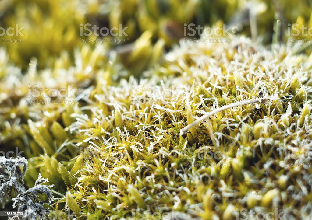 frost on moss stock photo